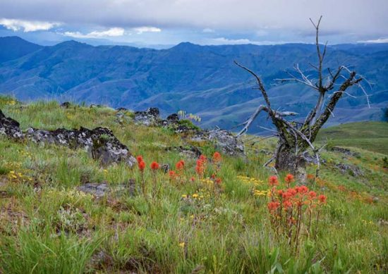 An old tree keeps company with indian paintbrush in the Hells Canyon.