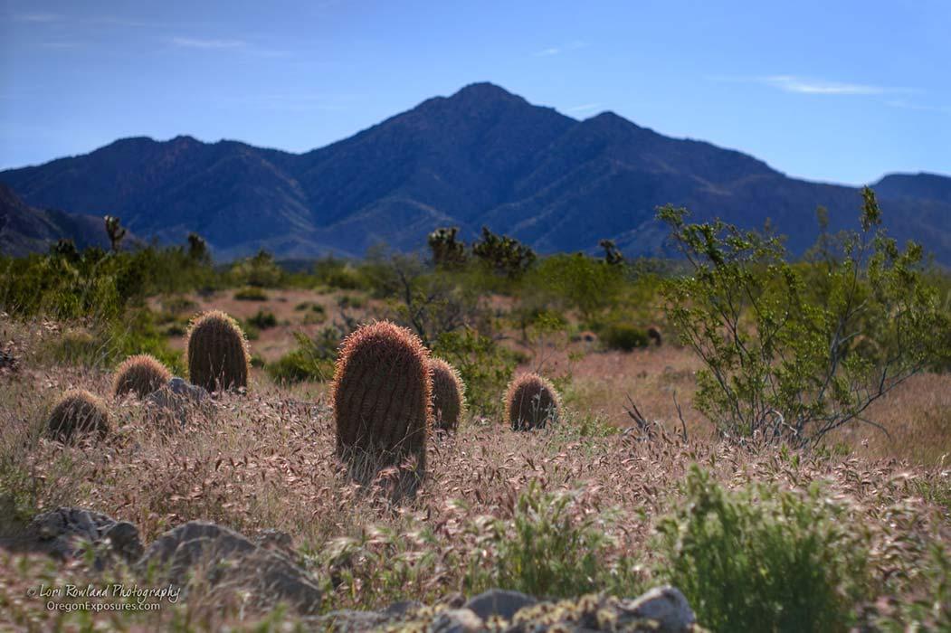 Gold Butte Barrel Cactus Landscape