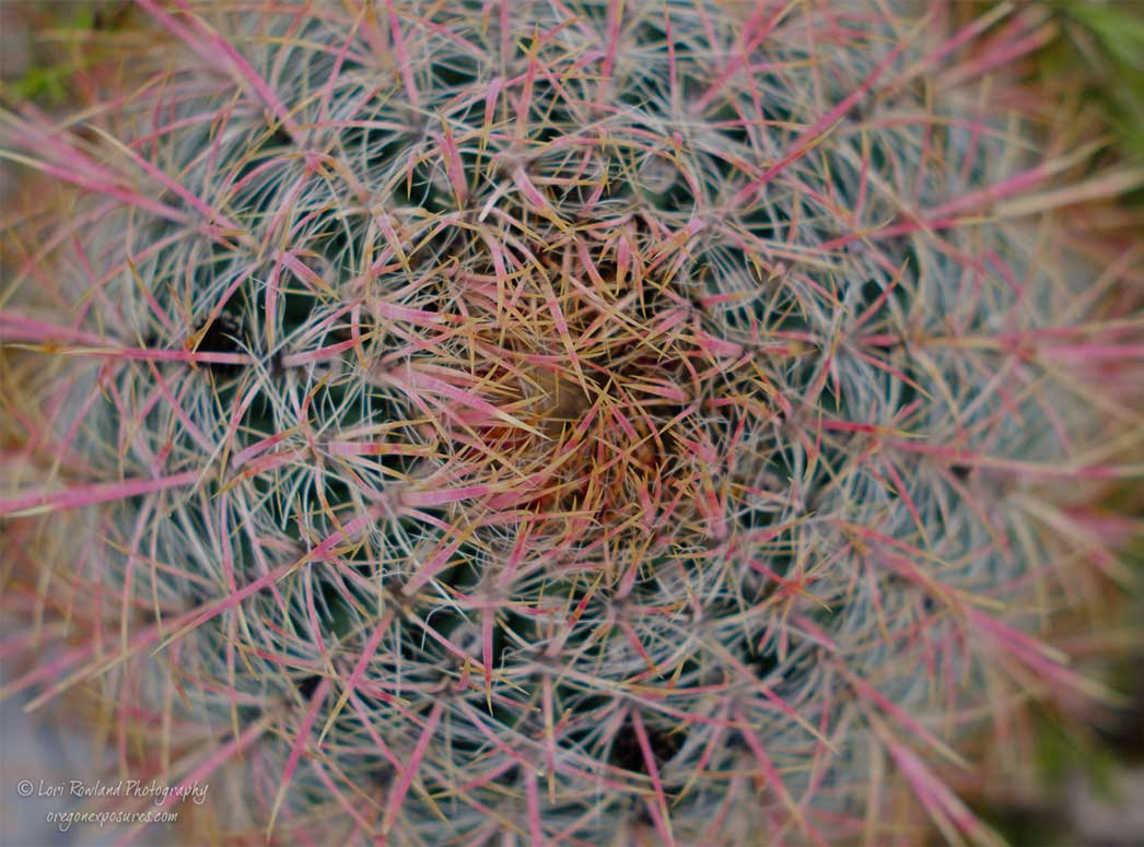 Top view looking down on a Barrel Cactus at Gold Butte National Monument in Nevada.