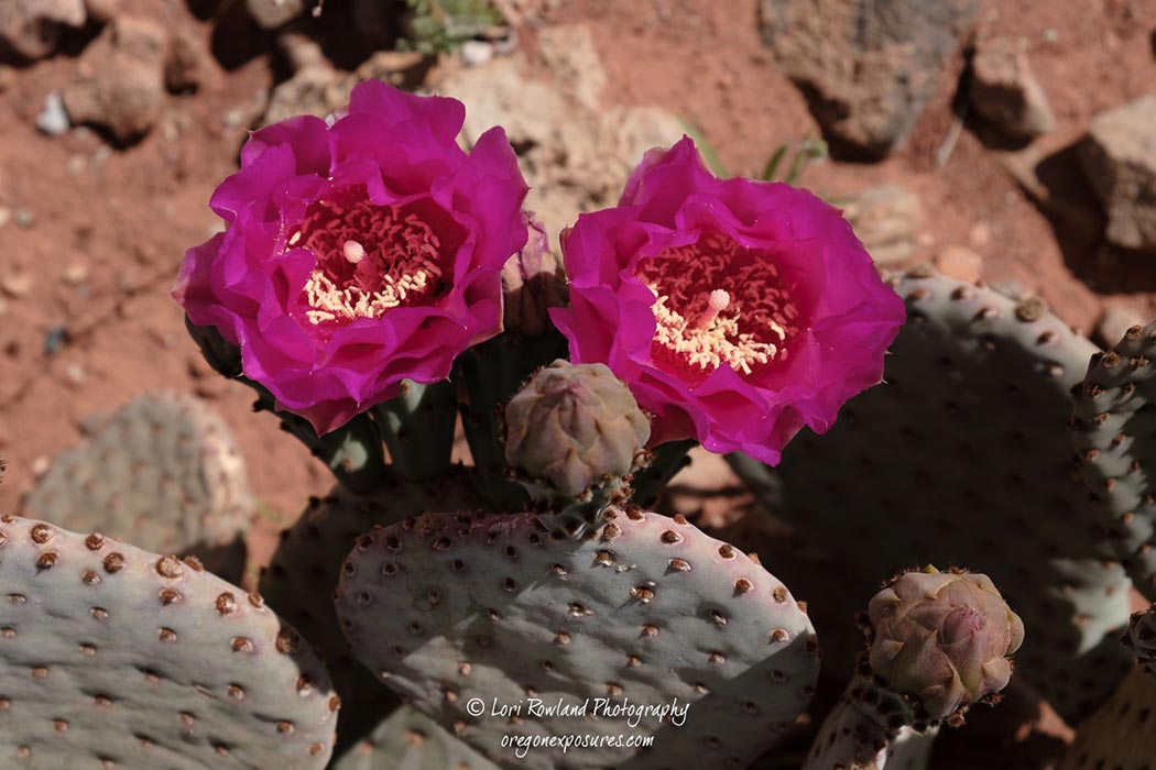 Beavertail Prickly Pears blossoms really stand out in the desert at Gold Butte National Monument.