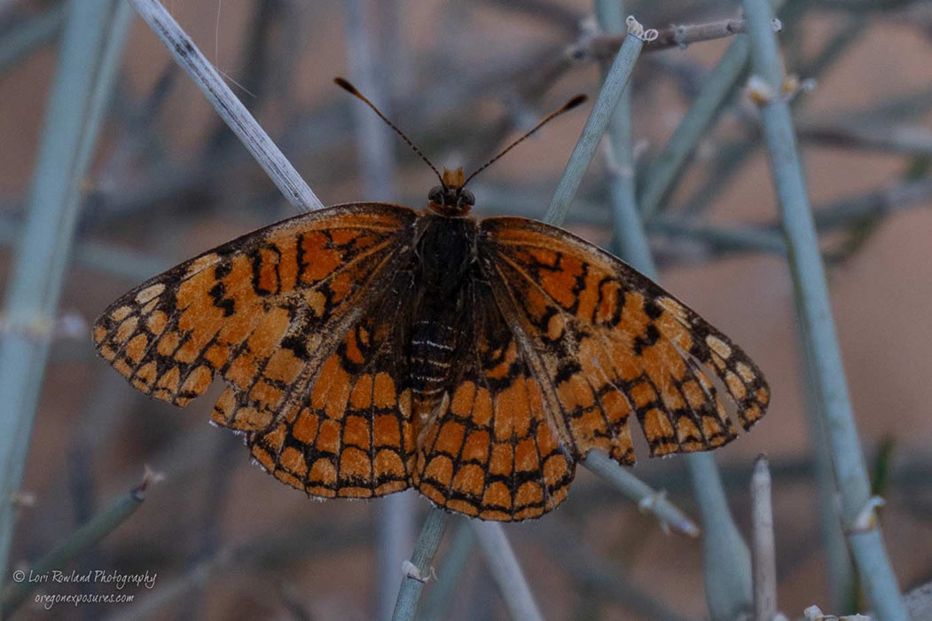 Gold Butte Butterfly