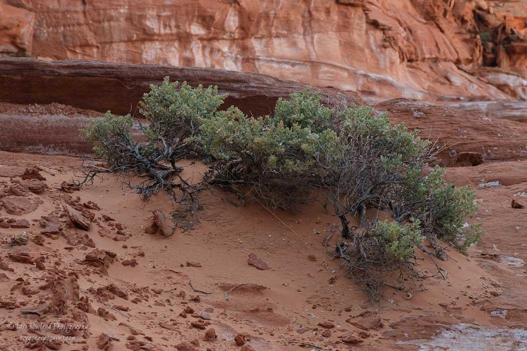 A desert shrub holds on for life in the Nevada desert.