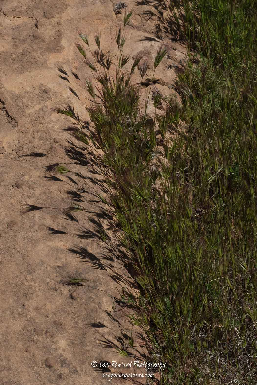 Foxtail Cress grass... hard to tell the grass from the shadow!