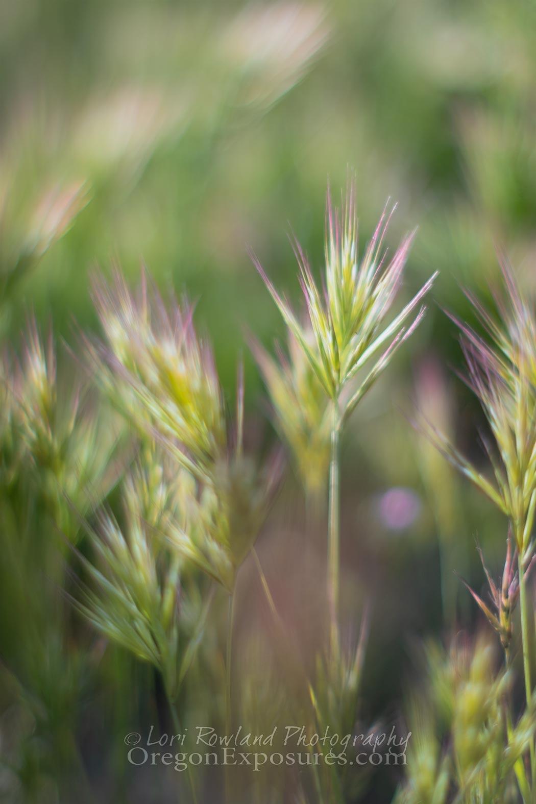 Gold Butte Foxtail Cress Grass