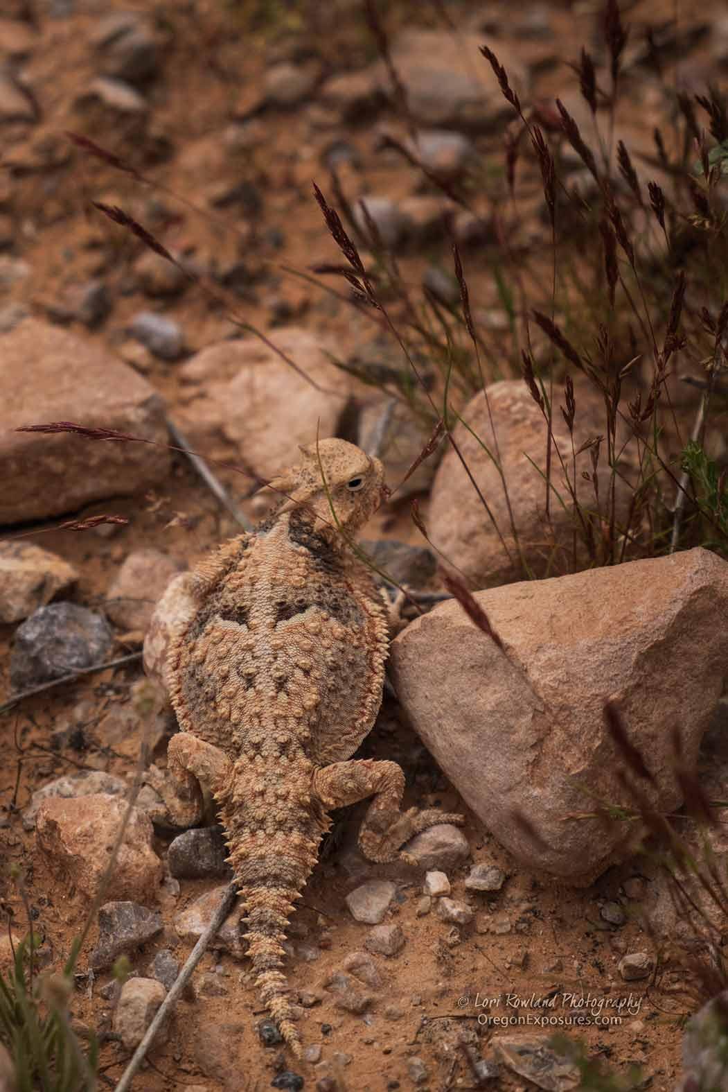 Horned Lizard under a bush.