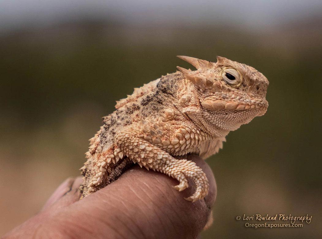 Horned Lizard Close-up