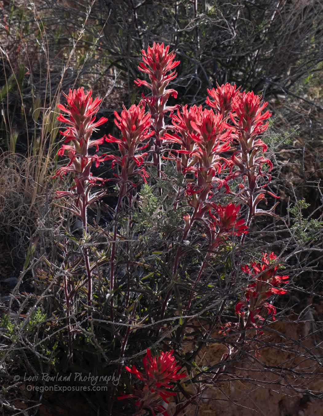Gold Butte Indian Paintbrush