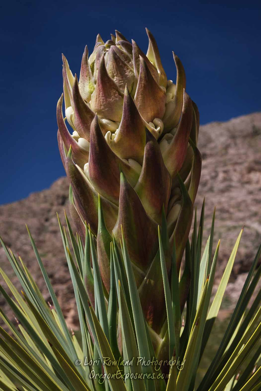A Joshua Tree bud about to bloom.