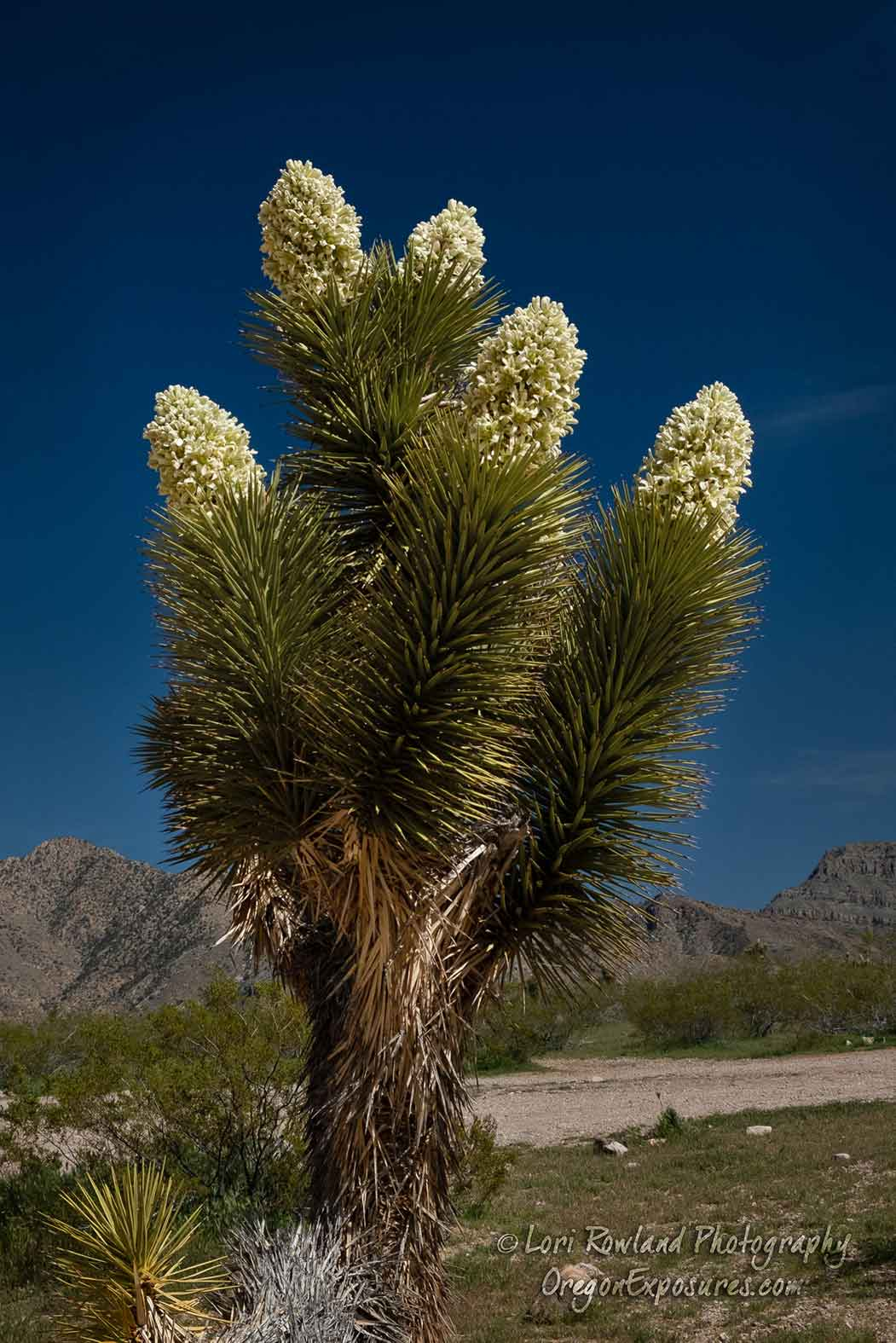 A Joshua Tree in full bloom at Gold Butte National Monument in Nevada.