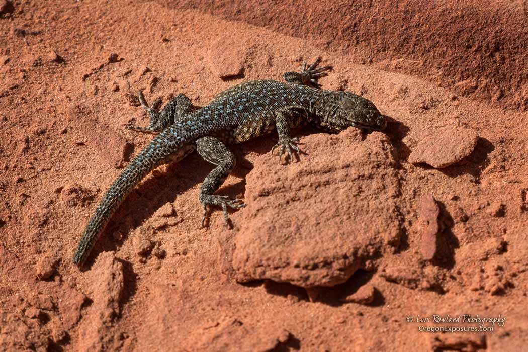 Gold Butte Lizard
