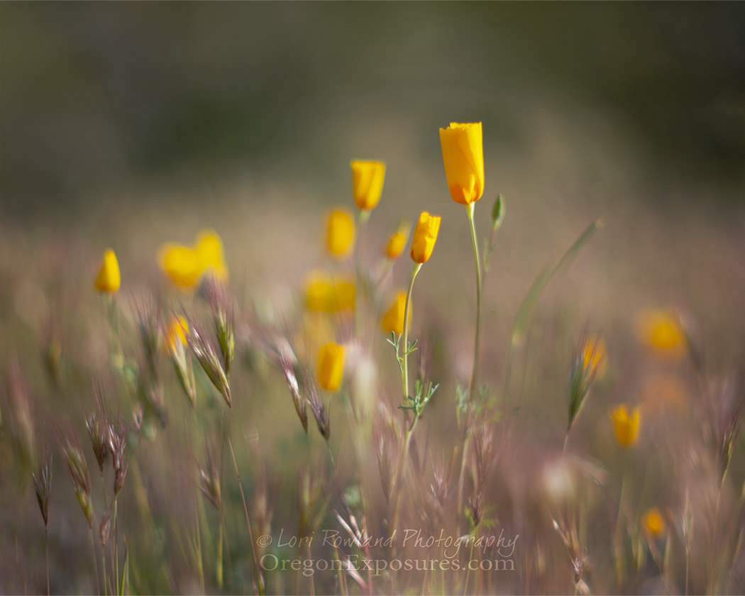 Gold Butte Mexican Gold Poppies