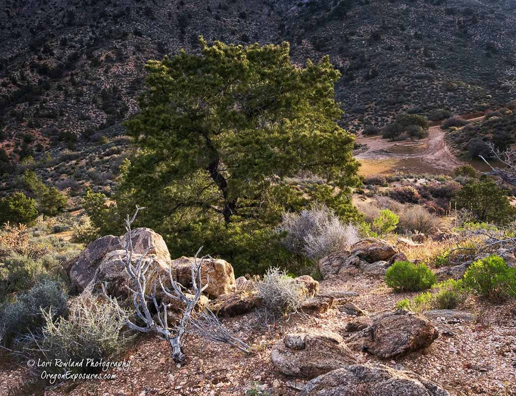 In the higher elevations of Gold Butte National Monument you can find Pinon Pines.