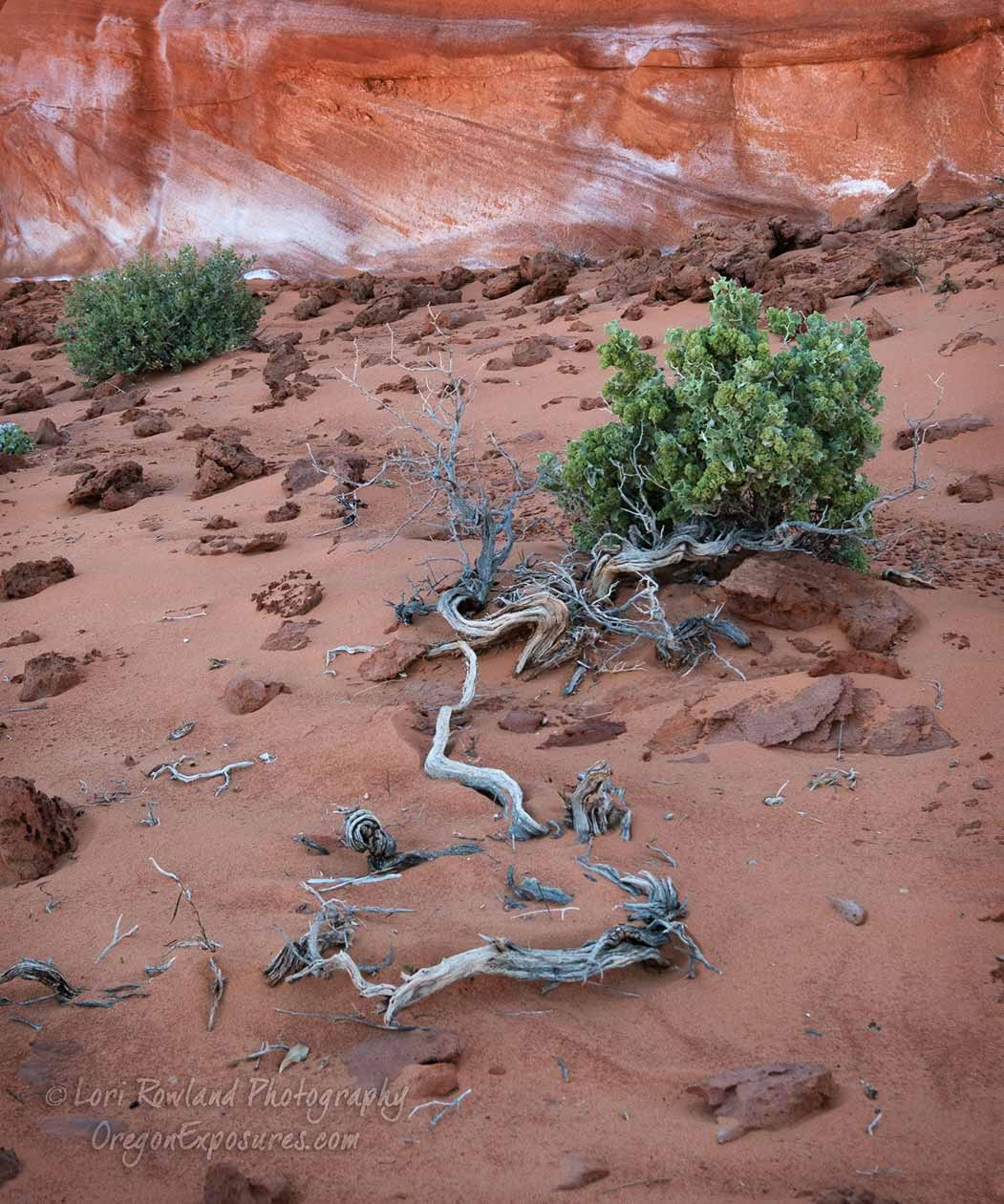 Conditions can be harsh in the desert but these shrubs seem to manage.