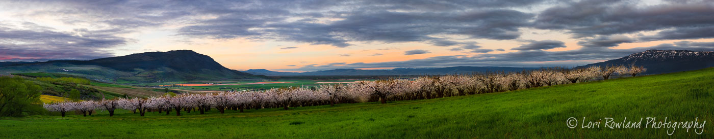 Cherry Orchard in Union County, Oregon