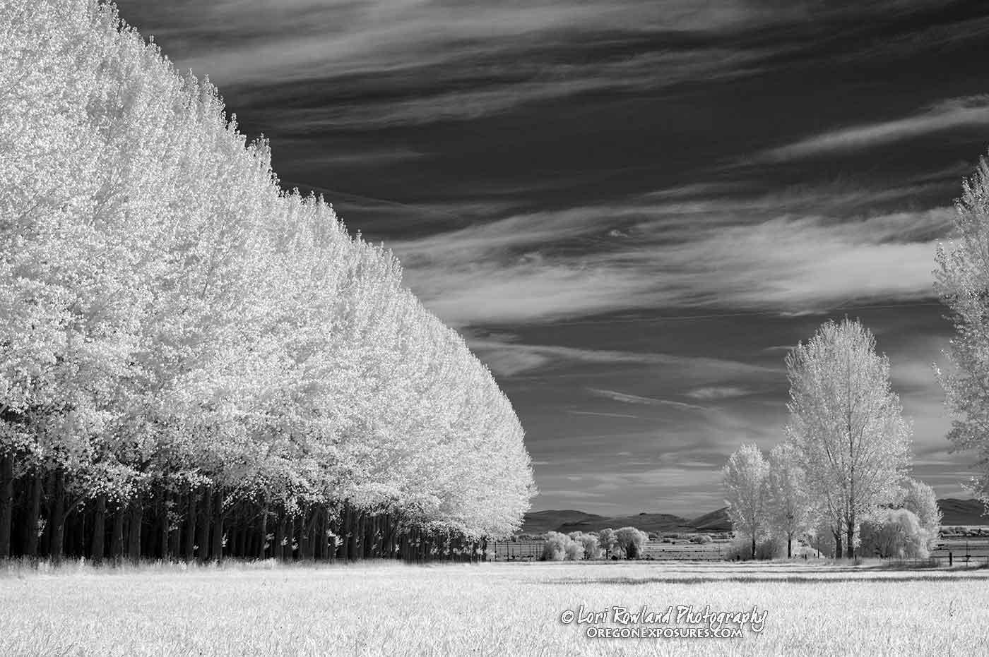 Poplar Trees in Infrared