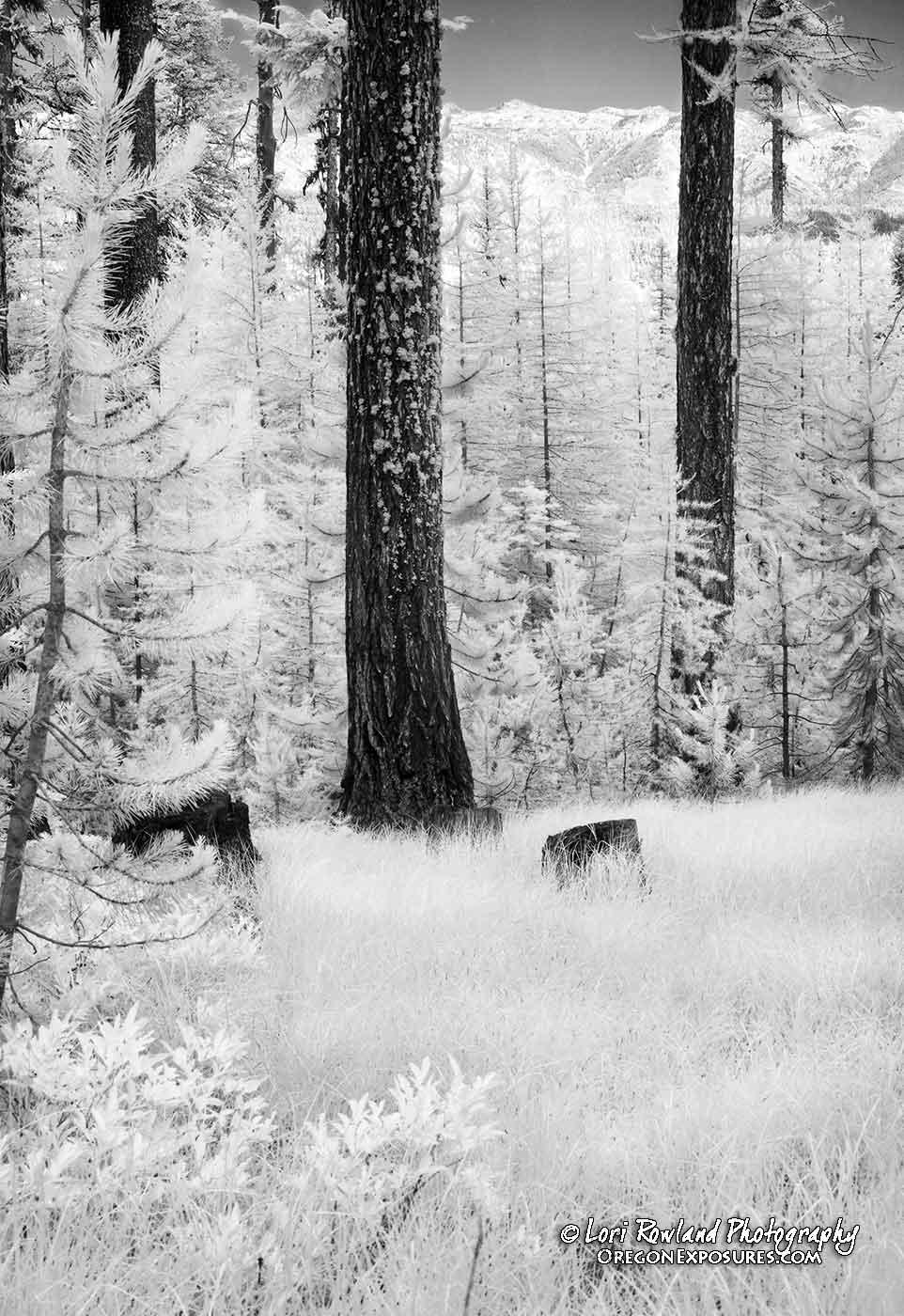 Lichen on Tree in Infrared